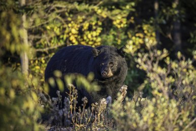 Black bear at Nanuk. Jad Davenport.