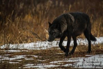 Lone black wolf at Nanuk. Steve Schellenberg.