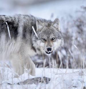 Wolf warning at Nanuk. Ian Johnson.