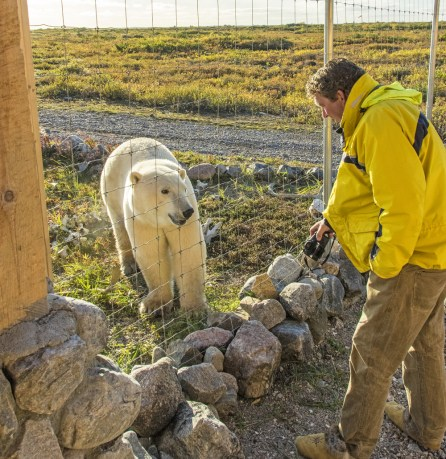 Visit with a polar bear at Seal River Heritage Lodge. Jad Davenport photo.