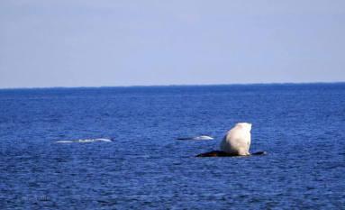 Polar bear hunting beluga whales at Seal River. Jayne Shepherd.