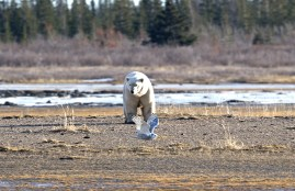 Snowy owl steals spotlight from polar bear at Nanuk. Ian Johnson.