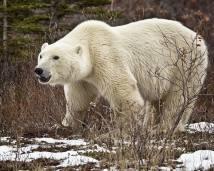 Big polar bear at Nanuk. Skip Kask.