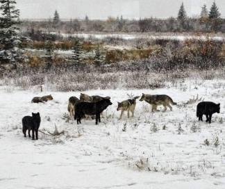 Wolf pack meeting at Nanuk. Josh Robson.