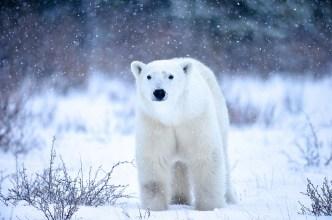 polarbearcubnanuk