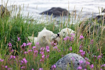 Polar bear cubs in the grass at Seal River Heritage Lodge.