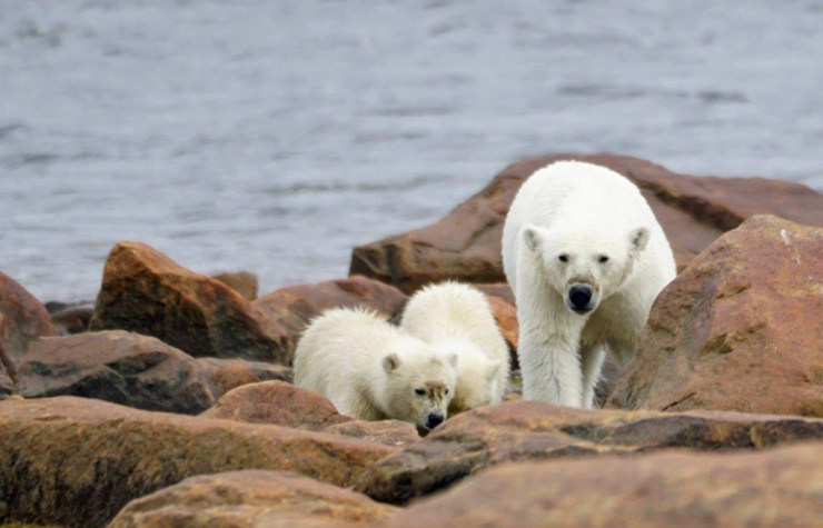 Mom and cubs on the rocks at Seal River Heritage Lodge. Denae D'Arcy photo