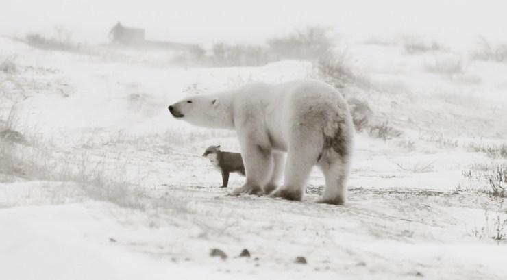 Polar bears and foxes. Yes. Polar bears and penguins. No. Birgit-Cathrin Duval photo.