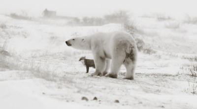 polarbearandarcticfox