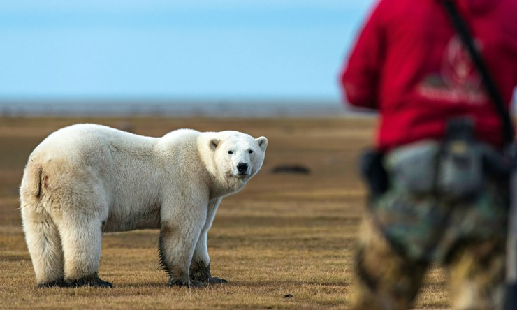 Close encounter with a polar bear at Nanuk Polar Bear Lodge. Jad Davenport photo.