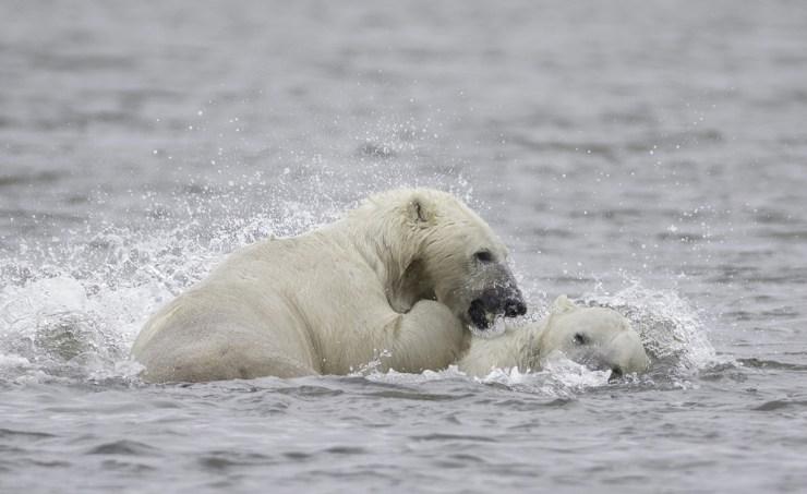 Polar bears don't hibernate in the summer! Photo by Charles Glatzer.