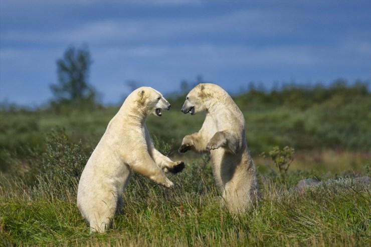 Polar bears sparring at Nanuk Polar Bear Lodge. Jad Davenport photo.