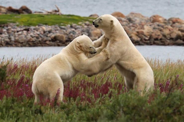 Polar bear sparring at Seal River. Judith Herrdum photo.