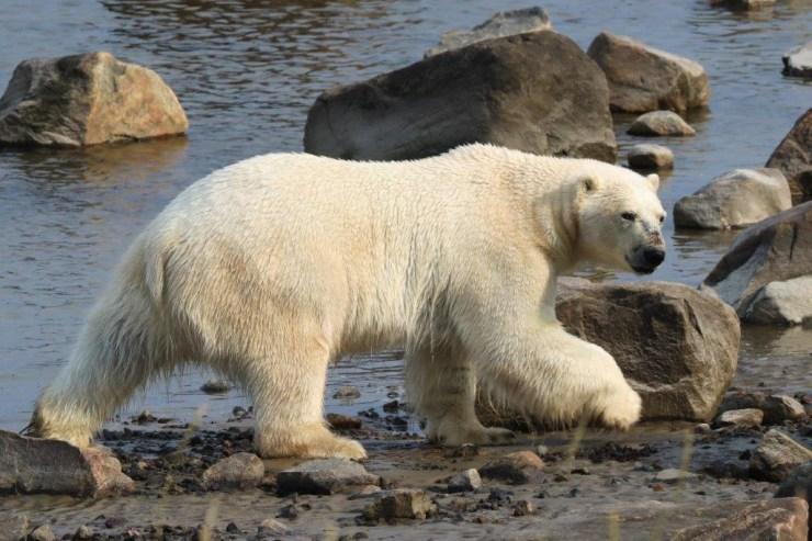 Polar bear gives us a wary look while walking along the bay. Judith Herrdum photo.