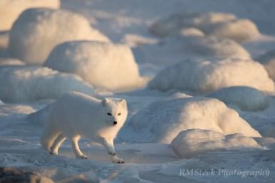 ArcticFoxSealRiverHeritageLodge