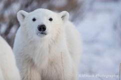 PolarBearCubSealRiverHeritageLodge