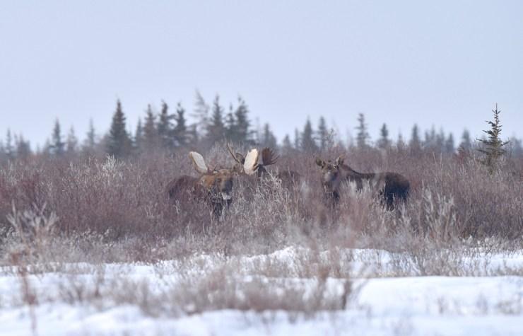 Moose in the willows at Nanuk Polar Bear Lodge.