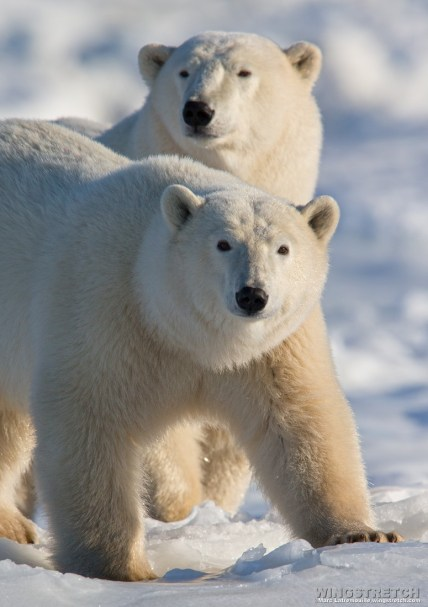 polarbearmomandcub
