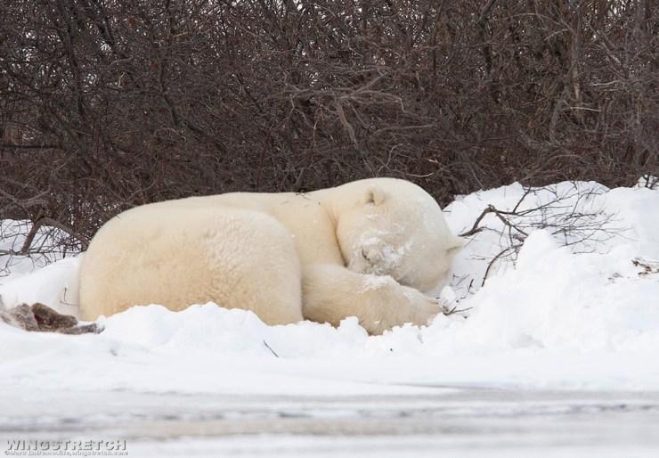 Our first polar bear sighting!