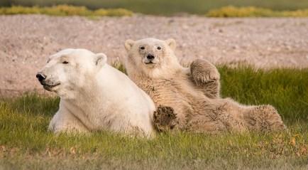 PolarBeaMomandCub