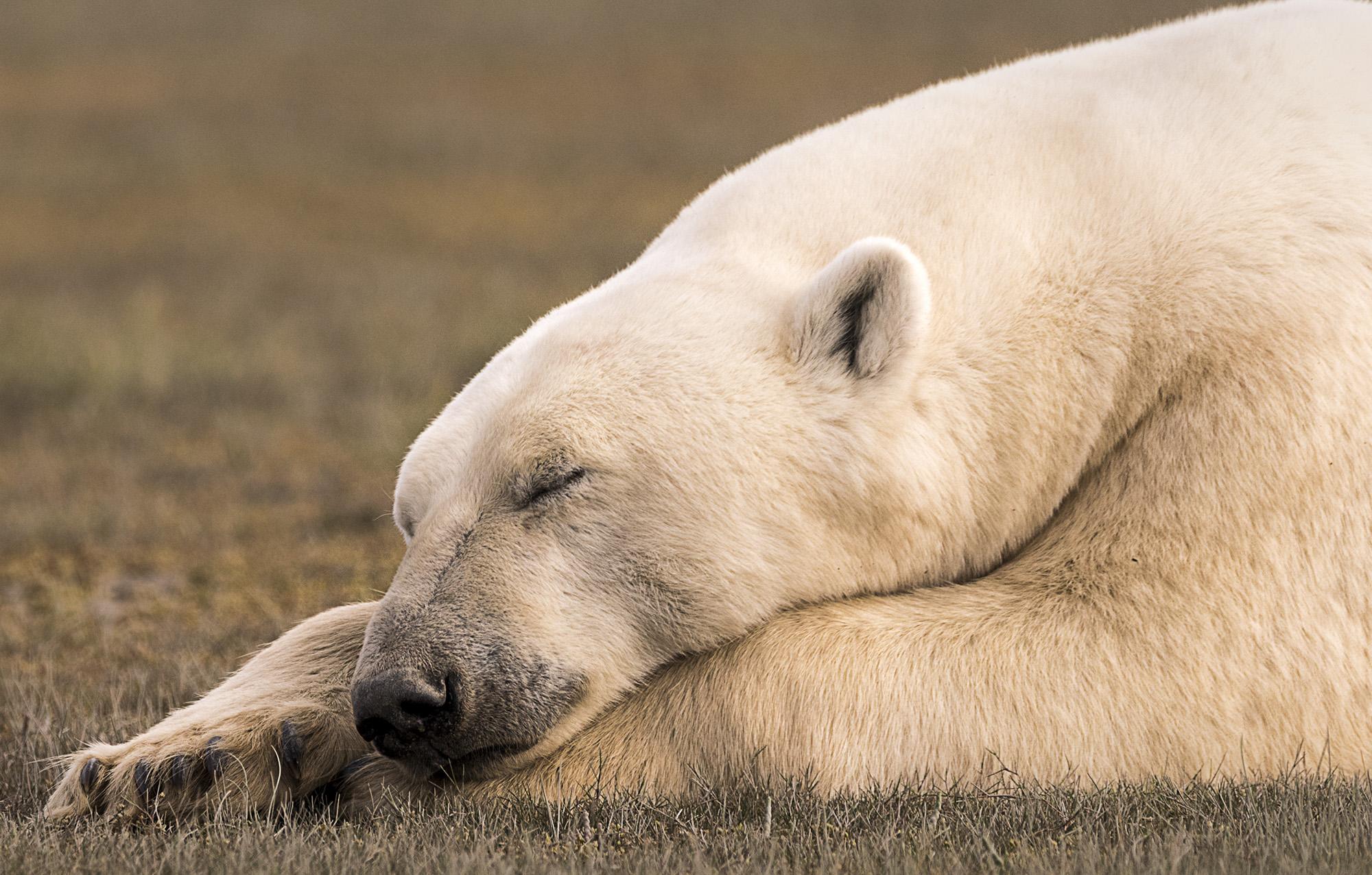 PolarBearRelaxing
