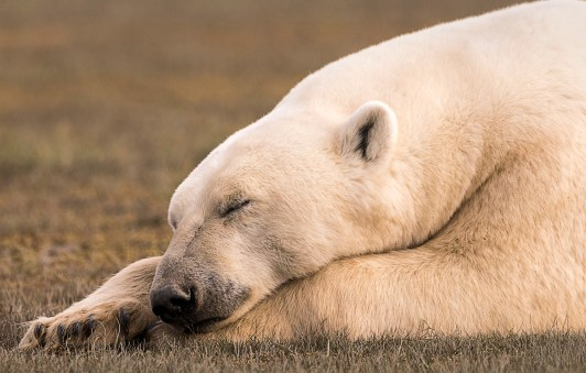 PolarBearRelaxing