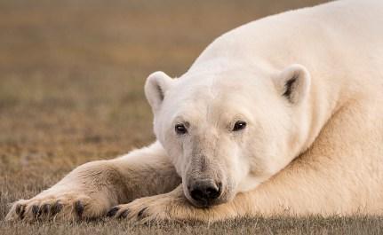 PolarBearThinking