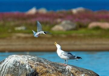 Arctic tern and gull conversing at Seal River.