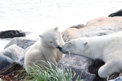 Tender moment between polar bear mom and cub at Seal River Heritage Lodge.