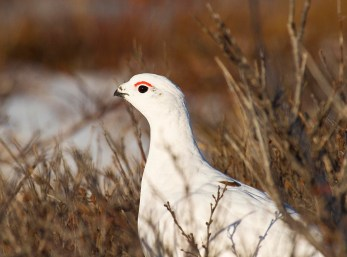 Ptarmigan at Seal River Heritage Lodge. S. Williams photo.
