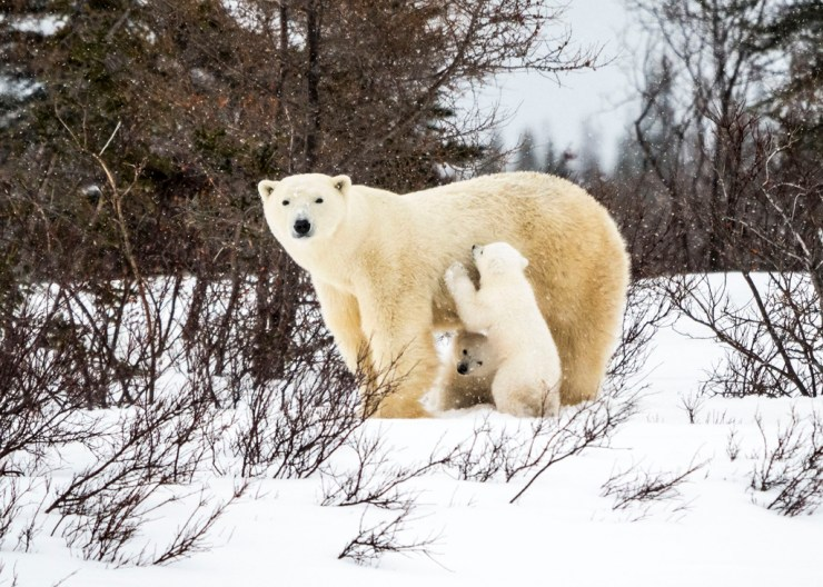 Polar bear mom and cub at Nanuk Polar Bear Lodge. Dr. Virginia Huang photo.