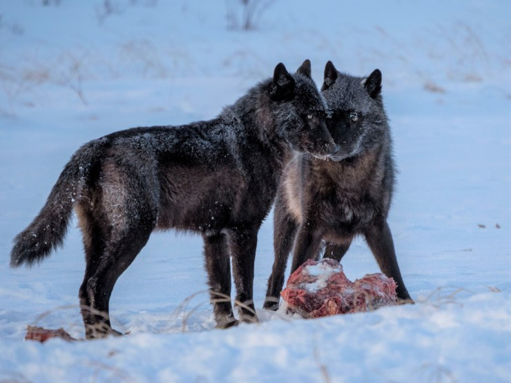 A pair of black wolves on a kill near the Nanuk Lodge. Wolves were seen almost daily both around the lodge and out along the coast.