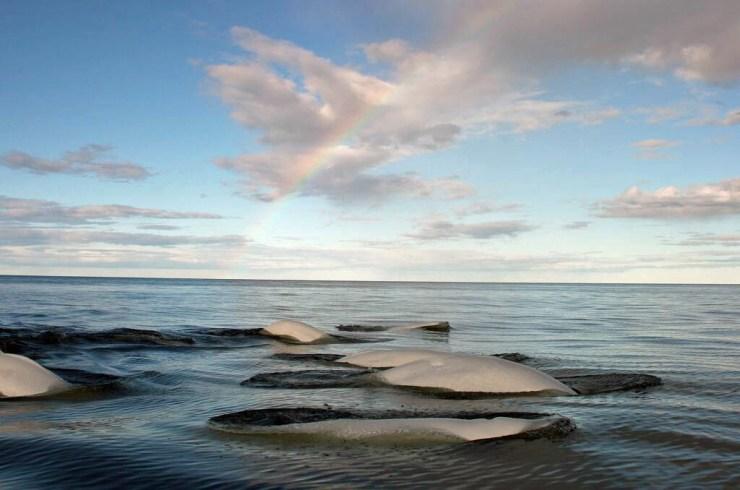 Beluga whales surfacing in Hudson Bay under a rainbow. Michael Poliza photo.