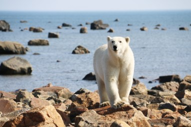 Young polar bear on the rocks at Seal River. Laura Montross photo
