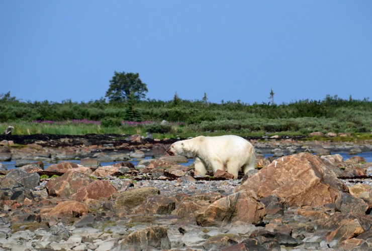 Big male polar bear heads off for a nap. Photo by guest Laura Montross.