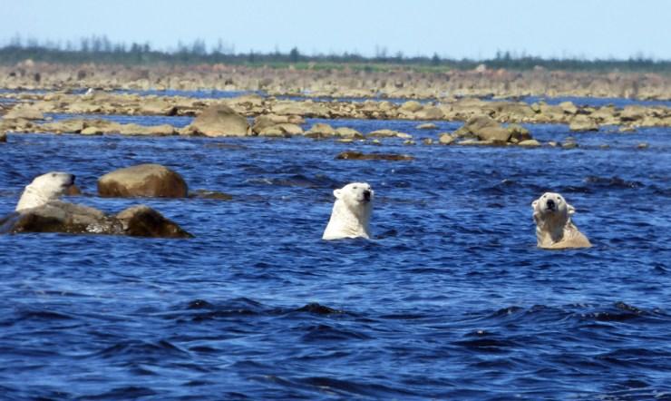 Polar bears swimming in Hudson Bay. Open water season is getting longer.