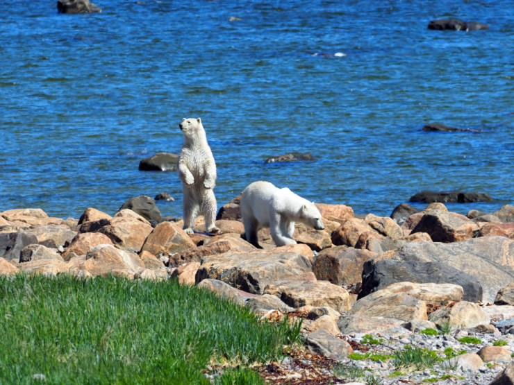 """Wait a minute, there's something over there."" ~ Polar bear friends at Seal River Heritage Lodge."