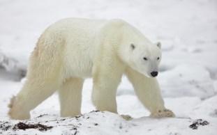polarbear2sealriverglatzer