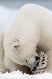 polarbearchewingglatzer