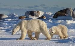 polarbearmomandcubsealriverglatzer
