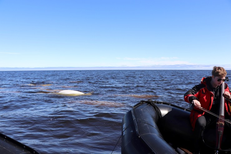 Beluga whales are always curious, but this time they were participants in a beautiful concerto of man and nature.