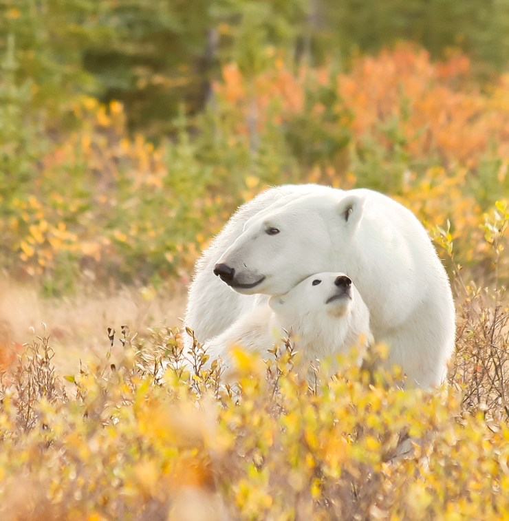 Mom and cub at Nanuk Polar Bear Lodge. Ramona Boone photo.
