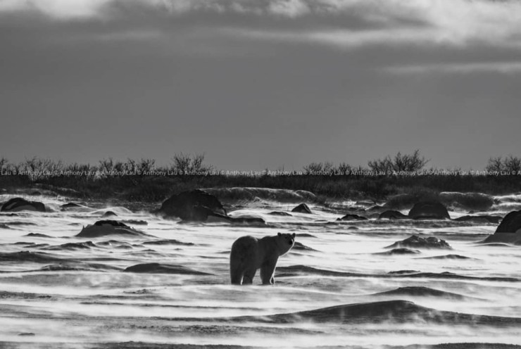 """And then it stopped, and turned its head toward me."" ~ Anthony Lau at Seal River Heritage Lodge."