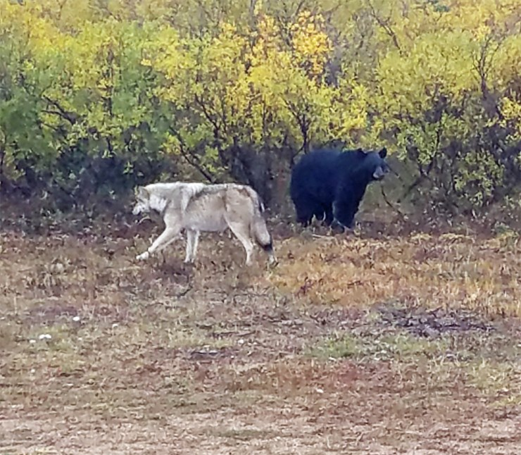 Black bear eyes wolf at Nanuk Polar Bear Lodge. Terry Elliot photo.