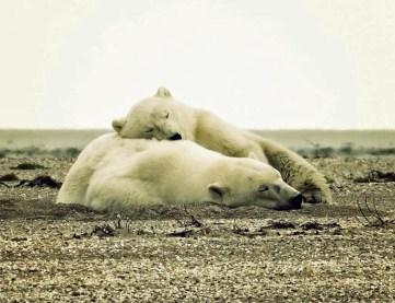 polarbearmomandcubnanuk2