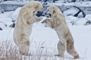 polarbearssparringsealriverheritagelodgeandyskillen