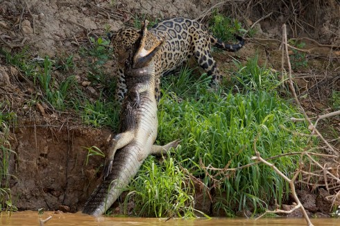 predatorsbrazilandyskillen