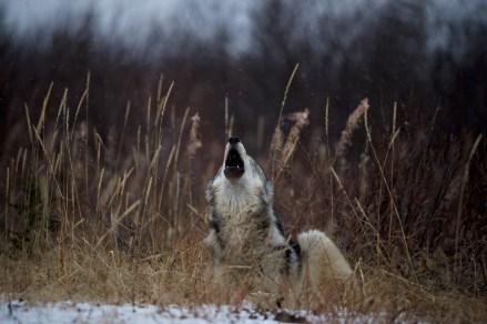 wolfhowlingsealriverandyskillen