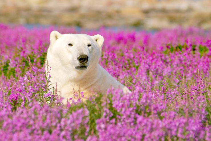 Polar bear in fireweed. Dennis Fast photo.