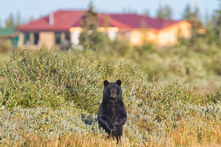 Young black bear pops up at Nanuk Polar Bear Lodge. Robert Postma photo.